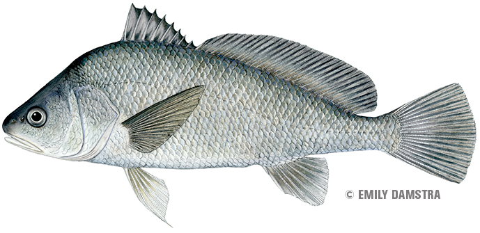Freshwater drum are fun to catch, but can you eat them? Michigan