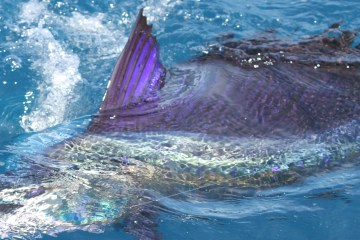 sailfish4
