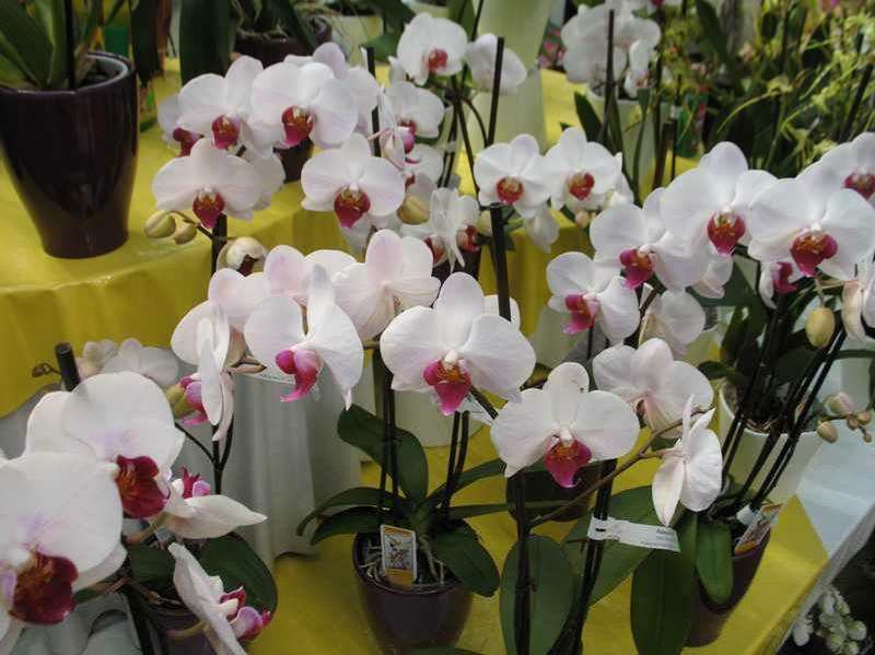 Repotting Phalaenopsis (Moth) & Other Monopodial Orchids