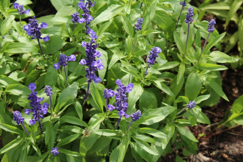 #bluesalvia#blueflower