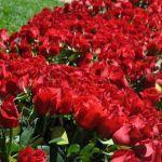 one rose 2