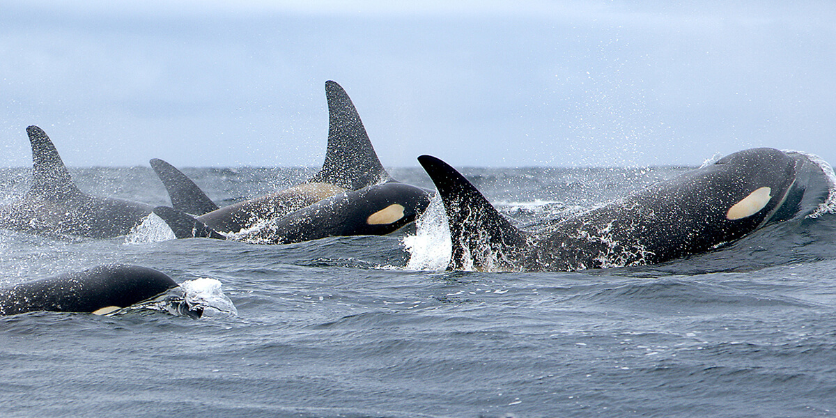 Fall Wallpaper With Blue Southern Resident Killer Whale Marine Mammal Commission