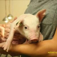 Real pig farming