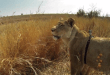 gopro-lion-hunt-kevin-richardson