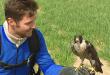 peregrine-falcon-steve-leonard