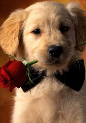 Shih Tzu Wallpaper Iphone Download Puppy Rose Mobile Wallpaper Mobile Toones