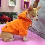 Chihuahua Breeders Chihuahua Puppies For Sale
