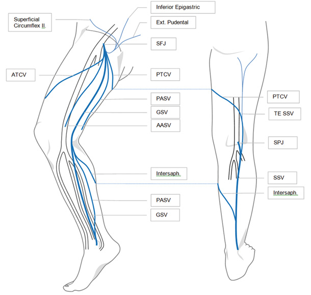 great saphenous vein and its tributaries - ModernHeal