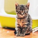 striped kitten in front of green litter box