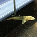 Why Was This Shark on a New York City Subway?