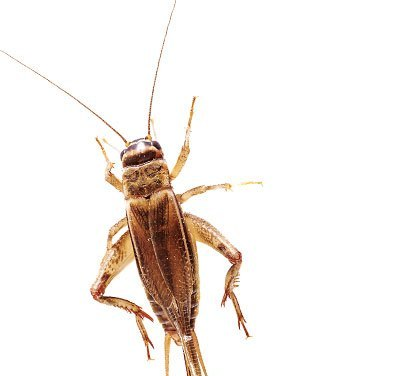 Who The Hell Eats Crickets For Protein? People, Evidently …