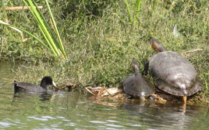 Turtles and Duck