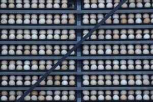 حظر استيراد الطيور الحية وبيض التفقيس من كوريا خوفا من انفلونزا الطيور