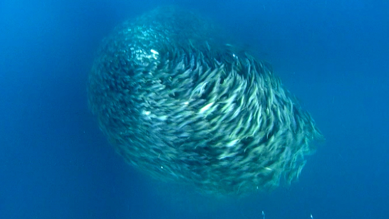 Discovery Channel Hd Wallpapers Predators Attack Bait Ball Blue Planet Bbc Earth