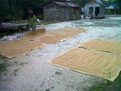 Sedang Menjemur Pada Daerah Sentra Tanaman Pangan Ini Terancam Sawit