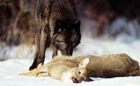 wolf harvest update