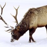 Volunteers killed 462 elk this year