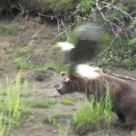 Bald Eagle vs Grizzly Bear Video