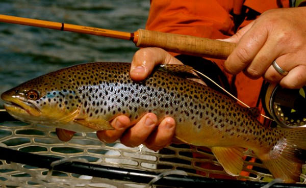 Good Streamer Action on The Yellowstone River and More in the Montana Fishing Company Fly Fishing Report