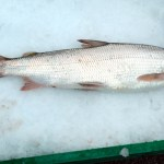 Strong Whitefish Fishery In Flathead Lake This Summer