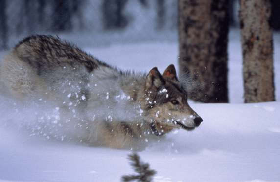 Breaking News – FWP Approves Wolf Trapping for 2012-13 Montana Hunting Season