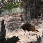 Fall Turkey Applications Due July 26th for Parts of Montana