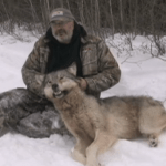 Wolf Shot by Hunter