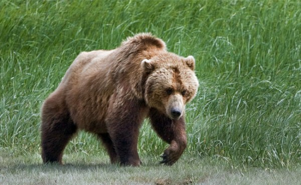 Hunters Should Be Cautious of Bears Preparing for Winter