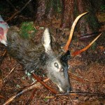 Elk Poachers in Washington State Caught in the Act