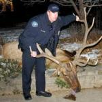 Vigil Held for Deceased Elk in Boulder, Colorado