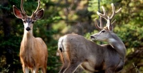 14509359-two-mule-deer-bucks-odocoileus-hemionus-with-velvet-antlers-in-the-wild-friendly-interaction-before-