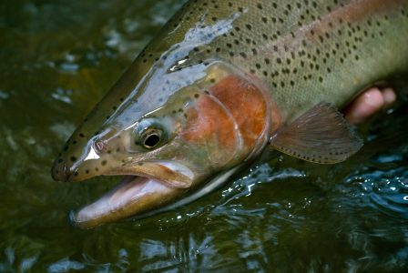 catching-trophy-trout