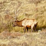 Famous Yellowstone Bull Elk Killed Most Likely by Wolves