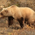 FWP Looking for Information on Grizzly Bear Shooting in Star Meadows Area