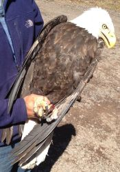 Injured-eagle-