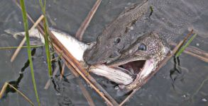 Two Pike Attack a Third (Photo by Jay Zimmerman)