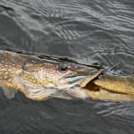 Eastern Montana Fishing Report for the Week of 5.6.13