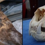 Montana Bull Elk Sports One Canine Tooth…In His Skull