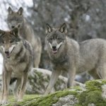 Wolf Hunting Off to Slow Start: Wolf Harvest Update