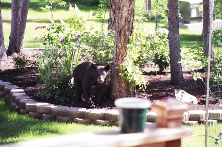 backyardbear