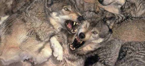 fighting-wolves-n-prey