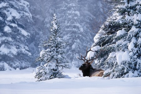 Elk-in-Snow-Photo-courtesy-of-Banff-Lake-Louise-Tourism