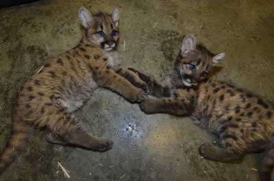 These young cougars were rescued after their mother was accidently killed. They are growing and thriving while awaiting zoo placement since it is considered impossible to successfully raise them for release when they are this young.