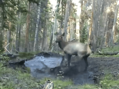 Elk-Playing-Puddle