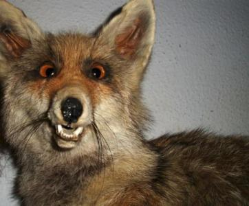 bad-taxidermy-slow-fox