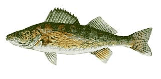 walleyefish