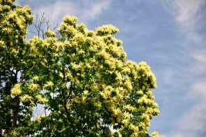 I castagni in fiore