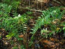 Mangrove fern - Acrostichum aureum - 07.14.2014 - 10.14.01