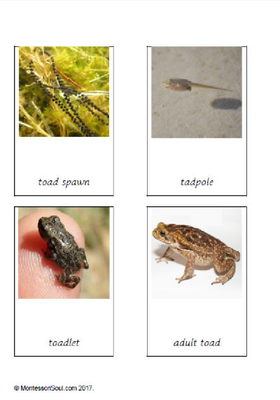 Three part cards life cycle of a toad