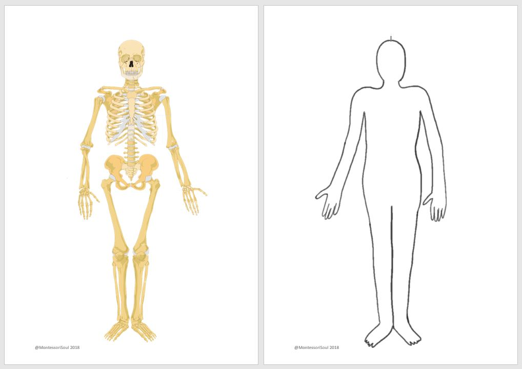 picture relating to Printable X Rays known as Human x-ray printable MontessoriSoul
